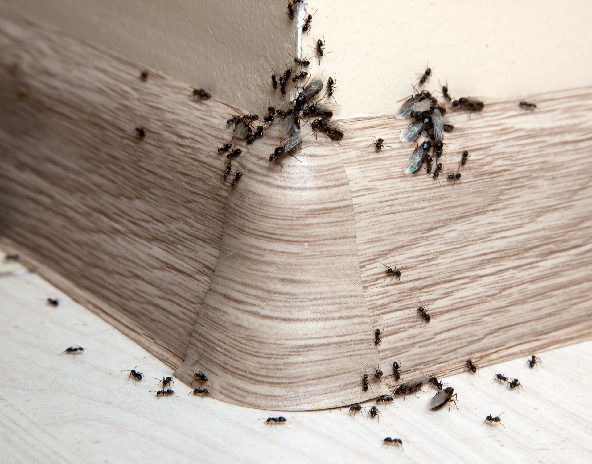 Ant Infestation, Pest Control in Highbury, N5. Call Now 020 8166 9746