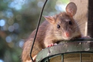 Rat extermination, Pest Control in Highbury, N5. Call Now 020 8166 9746