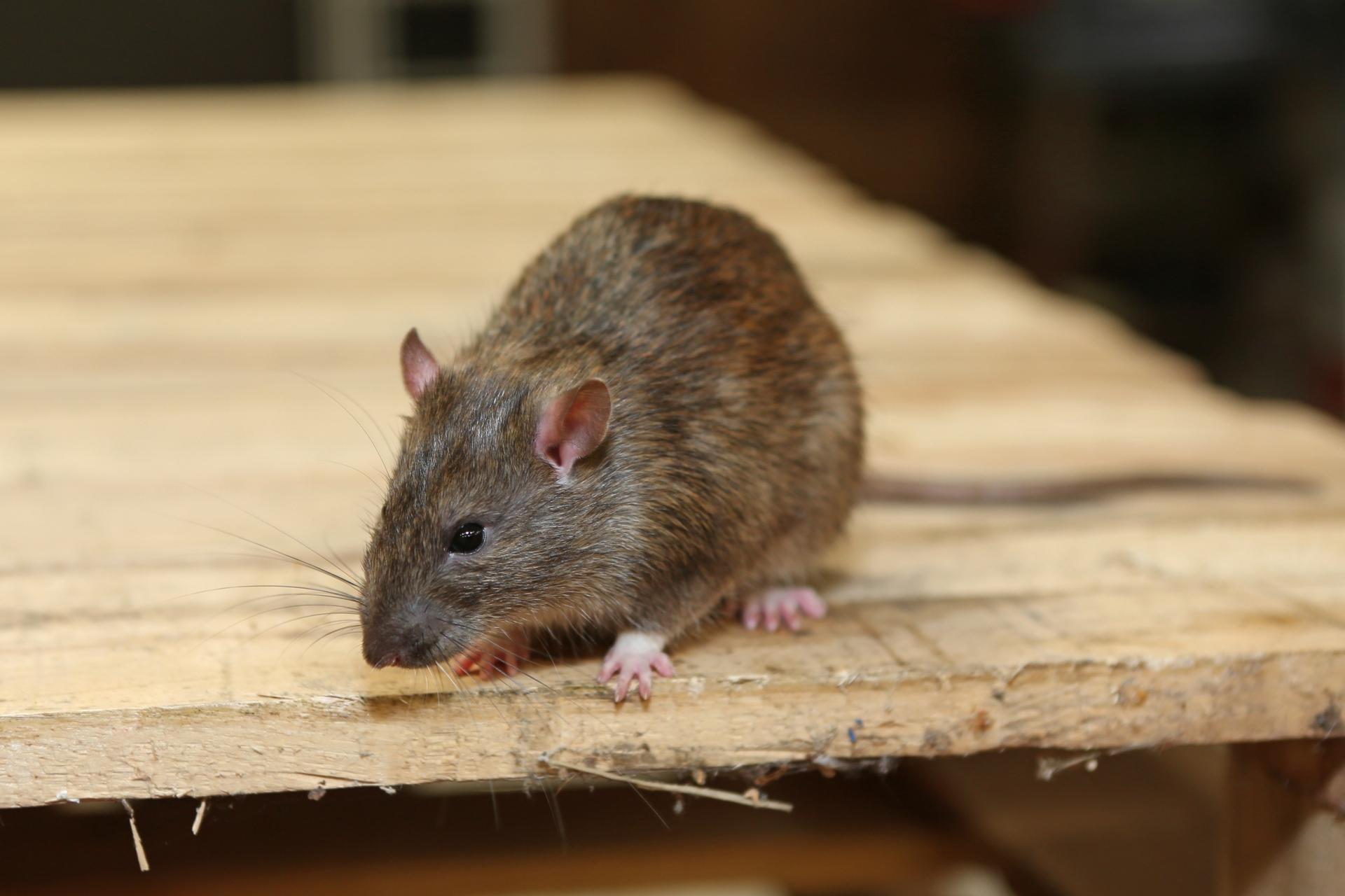 Rat Infestation, Pest Control in Highbury, N5. Call Now 020 8166 9746