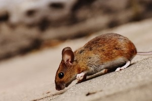 Mouse extermination, Pest Control in Highbury, N5. Call Now 020 8166 9746